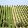 Landscape of vineyard — Stock Photo