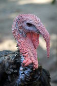 Bronzed turkey — Stock Photo