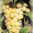 Ripe grape vineyard will — Stock Photo #38754567