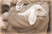 Lamb with shepherd — Stock Photo