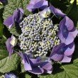 Stock Photo: Blue hydrangein garden