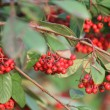 Stock Photo: Red berries in garden
