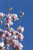 Blooming magnolia flowers in spring — Stock Photo