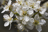 Trees with white flowers in spring — Stock Photo