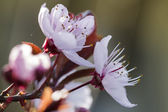 Peach blossom in spring — Stock Photo