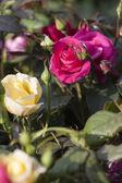 Roses in bloom in spring — Stock Photo