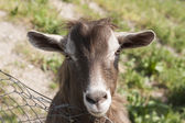 Goat in the mountains — Stock Photo