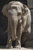 Elefante en el zoológico — Foto de Stock