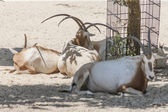 Alces en el zoológico — Foto de Stock