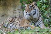 Tygrys w zoo — Zdjęcie stockowe