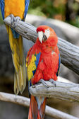 Parrot on its perch — Stock Photo