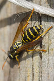 Wasp on branch — Stock Photo