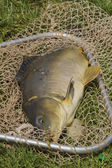Carp in the net of the fisherman — Photo