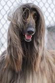 Afghan hound — Stock Photo