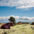 Cows in The Grassland - Stock Photo