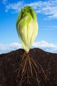 新鮮なレタス — ストック写真