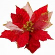 Christmas Flower Isolated. Euphorbia Pulcherrima — Stock Photo #37249803