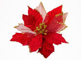 Christmas Flower Isolated. Euphorbia Pulcherrima — Stock Photo