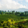 Stock Photo: CostRicCoffee Plantation