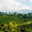 Costa Rica Coffee Plantation — Stock Photo