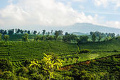 Costa Rica Coffee Plantation — Stock Photo