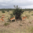 Royalty-Free Stock Photo: Antelopes, Kenya