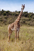 Giraffe, Kenya — Stock Photo