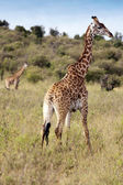 Giraffes, Kenya — Stock Photo