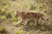 Lion cub, Kenya — Stock Photo