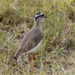 Crowned Lapwing, Kenya — Stock Photo