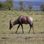 Topi antelope, Kenya — Stock Photo