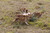 Lion cubs, Kenya — Stock Photo