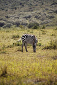 Zebra, Kenya — Stock Photo