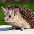 Eared hedgehog — Stock Photo