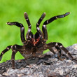 Tarantula - Stock Photo