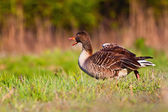 Wild goose — Stock Photo