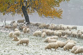 Sheep on autumn pasture — Stock Photo