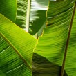 Stock Photo: Bananleaf backlit sun - background