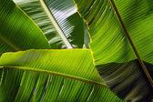 Sol de backlit banana leaf - fundo — Foto Stock