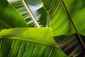Sol de backlit banana leaf - fundo — Foto Stock
