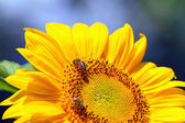 Bees sitting on yellow sunflower — Stock Photo