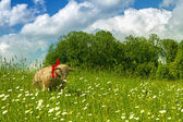 Sheep of straw on spring pasture — Stock Photo