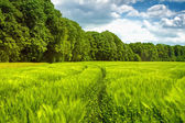 Path through the young corn to the forest — Stock Photo