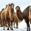 Stock Photo: Bactrian Camels walks in the snow