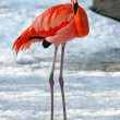 Stock Photo: Hardy flamingo in snow (Phoenicopterus roseus)