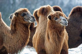 Bactrian Camels walks in the snow — Stock Photo