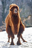 Bactrian Camel walks in the snow — Stock Photo