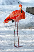 Hardy flamingo in the snow (Phoenicopterus roseus) — Stock Photo