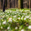 Постер, плакат: Vegetation carpet of snowdrops in floodplain forest