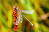 Blue-eyed Hawker on an orange flower — Stock Photo